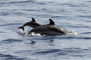 New dolphin species discovered off north Australia