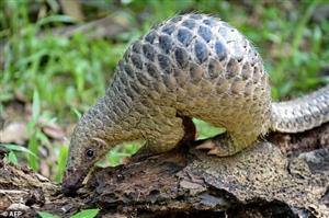 Malaysia rescues 140 pangolins from suspected smugglers