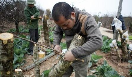 Gardener grafts peach trees for Tet