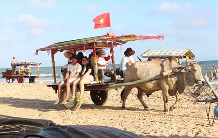 Cow riding service launched in Binh Thuan