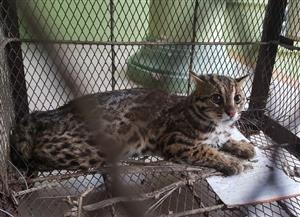 Wildcat rescued from a local family