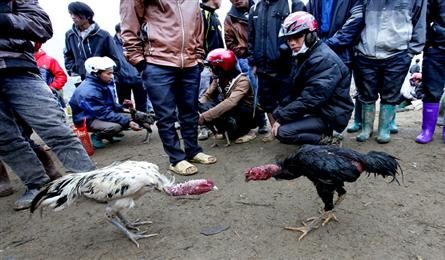 Fighting cock market in Lao Cai Province