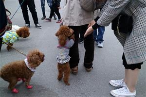 Pet dogs more popular than ever in Hanoi for the Year of the dog