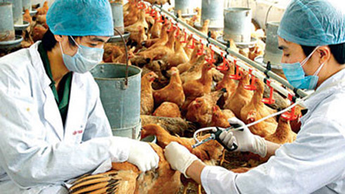 bird flu expands in vietnam, striking 2 more provinces  hinh 0