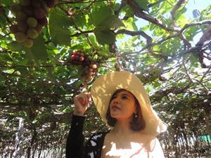 Grape and Wine Festival to be held in Ninh Thuan