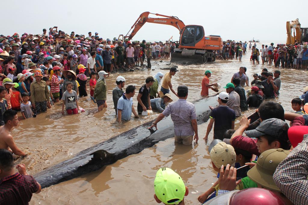 Giant whale rescued on Nghe An beach