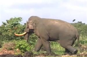 Uncompleted electric fence project sees hungry elephants reaching out