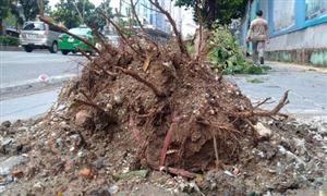Uprooted trees reveal careless planting