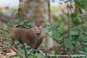 Pig-tailed macaque handed over to Quang Binh park