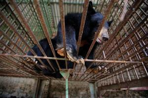 Vietnam to end use of bear bile