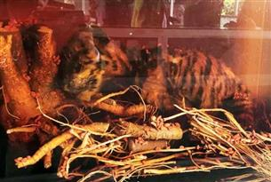 Tiger cubs soaked in alcohol found in Lam Dong