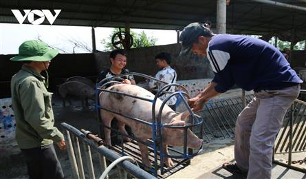 Pork prices sharply fall due to abundant supply