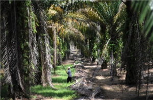 Companies not buying enough 'green' palm oil: WWF
