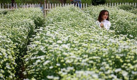 Hanoi farmers earn big during daisy season