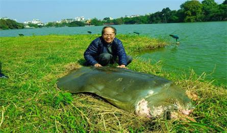Hanoi's giant turtle to be preserved at museum