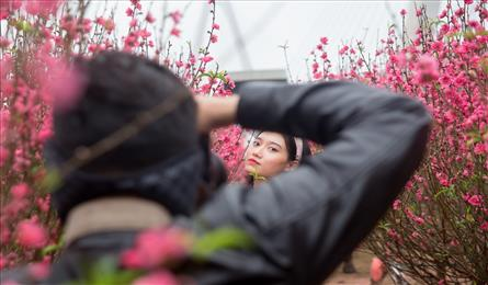 Early peach blossoms gardens in Hanoi attract visitors