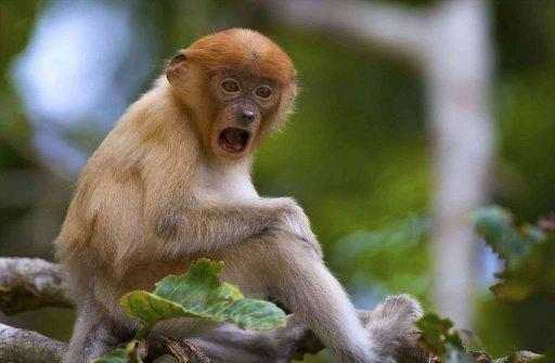 Palm planters blamed for decline of Borneo monkey