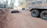 Death of rare bull in Kon Tum investigated