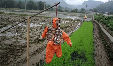 Scarecrows for mice on Vietnamese fields