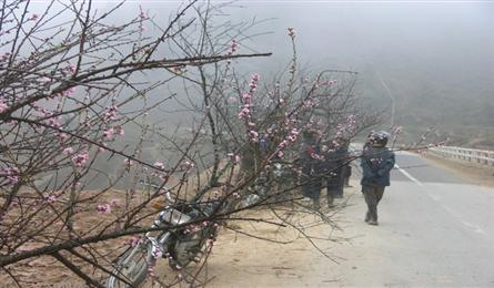 Peach flowers decorate Sapa's route