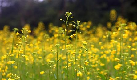 Blooming canola terraces a new tourism draw