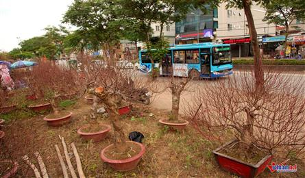 Peach flowers flood Hanoi's streets
