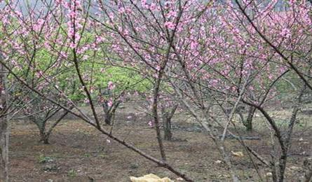 Home-grown peach flower trees to be labelled