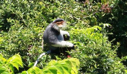 Huge monkey and douc langur group discovered in Quang Tri