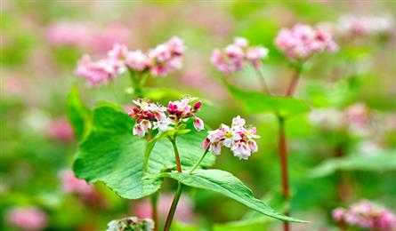Buckwheat flowers bloom in Ha Giang