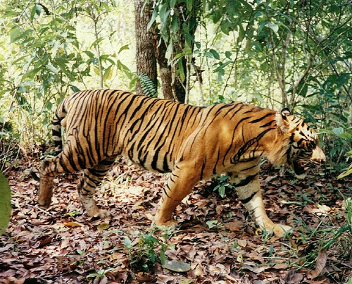 Tigers the focus of national conservation programme