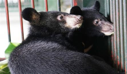 Two bears rescued from illegal animal trade
