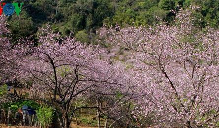 Forest peach flowers blossom late