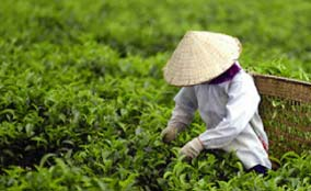 Vietnam tea exports to hit $700 million by 2020