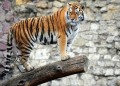 World leaders seek to save the tiger from extinction