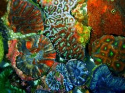 Australia corals to light up cancer cure fight