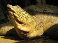 Asia's giant softshell turtles teeter on the brink extinction