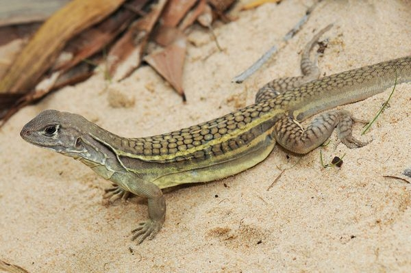 New self-cloning lizard found in Vietnam restaurant