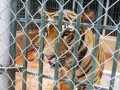 Can Vietnam preserve tigers with $49 million?
