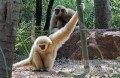 Study: Asian gibbons have regional accents